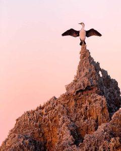 Pied Cormorant, Australasian Cormorant, Shag, Seabird
